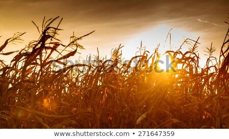 Corn Stalks Drying in the Sun Stock photo © rhamm