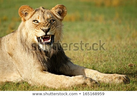 Male Lion Grimace Stock photo © fouroaks
