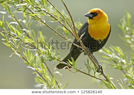 Jaune blackbird jeunes oiseau Photo stock © devon