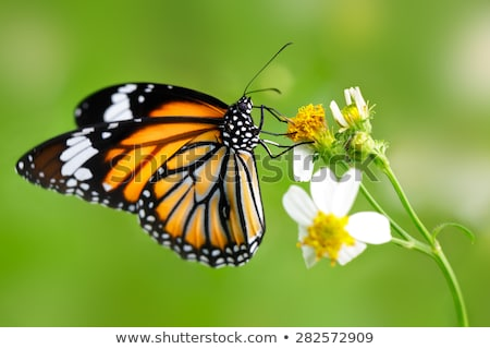 a yellow and black monarch butterfly on a flower stock photo © frankljr