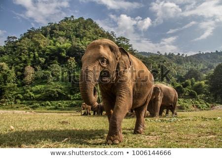 siluetă · elefant · taur · insulă · râu · apus - imagine de stoc © anan