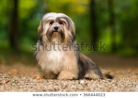 purebred havanese dog stock photo © bigandt