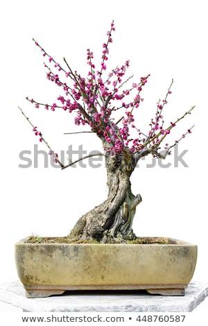 bonsai · oude · Rood · boom · blad · achtergrond - stockfoto © marimorena