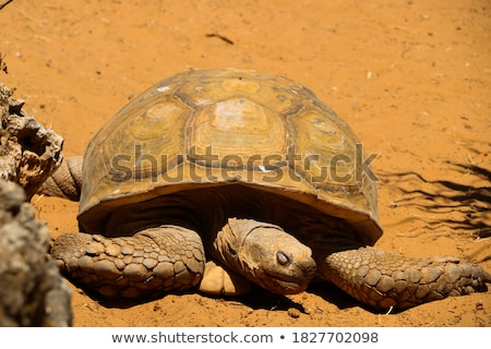 Giant turtle photographed in a zoo Stock photo © epstock