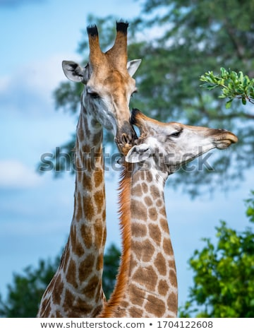 giraffe in the green nature stock photo © jonnysek