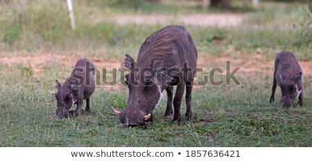 2 食べ 草 公園 南アフリカ ストックフォト © simoneeman