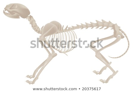Skeletal system of a dog Stock photo © bluering