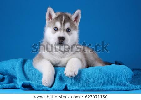 Husky kutyakölyök kék szemek kutya szem szemek Stock fotó © OleksandrO