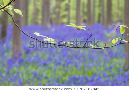 Bluebell Detail Landscape stock photo © suerob