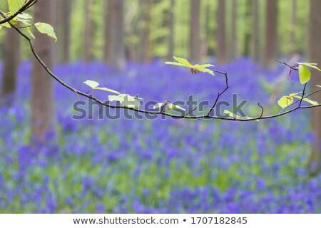 Bluebell Detail Landscape Stock photo © suerob