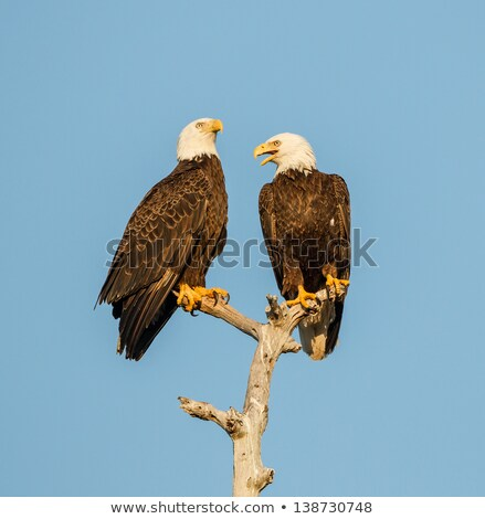 two american bald eagles in a tree stock photo © searagen