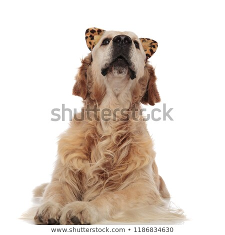 curious labrador wearing funny animal print headbad looks up Stock photo © feedough