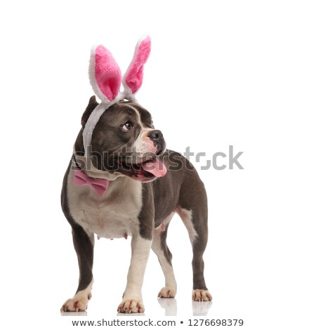 curious gentleman american bully wearing rabbit ears headband pa Stock photo © feedough