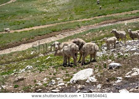 herd of sheeps in mountians stock photo © joyr