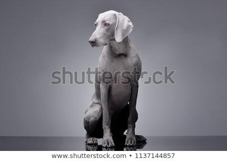 прелестный · собака · глаза · животного · носа - Сток-фото © vauvau