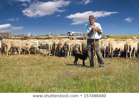 Férfi birka farm gazdálkodás férfi állat Stock fotó © robuart