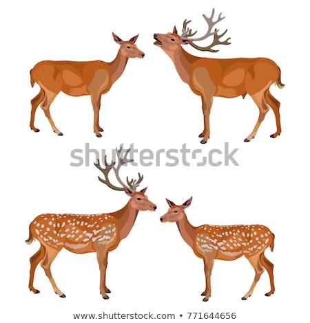 Couple Of Fallow Deer  Stock photo © Witthaya