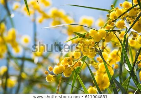 ストックフォト: ツリー · 花 · 花 · オーストラリア人 · ネイティブ · 自然