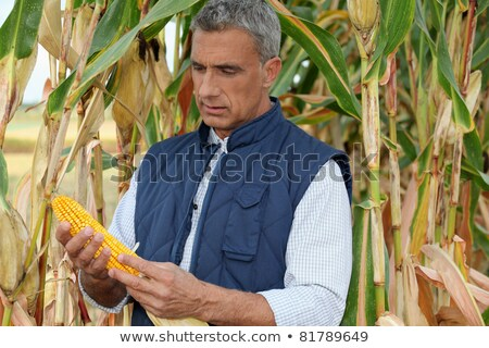 farmer watching a corncob in a cornfield Stock photo © photography33