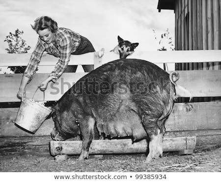 Female Pig in a Slop Bucket Stock photo © rhamm