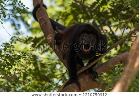 majom · nagy · vad · fekete · természet · utazás - stock fotó © MojoJojoFoto