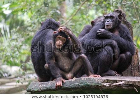 şempanze · çim · kadın · oturma · bakıyor · kamera - stok fotoğraf © ruslanomega
