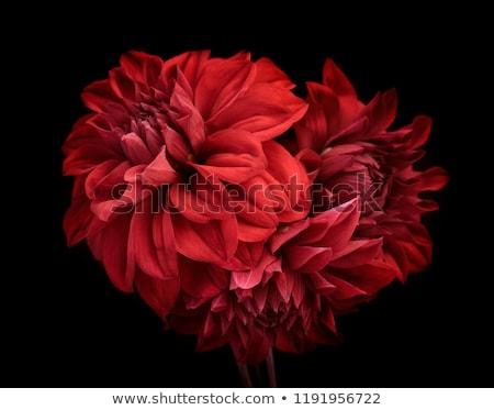 Kırmızı dalya yeşil yaprakları çiçek su ağaç Stok fotoğraf © taden