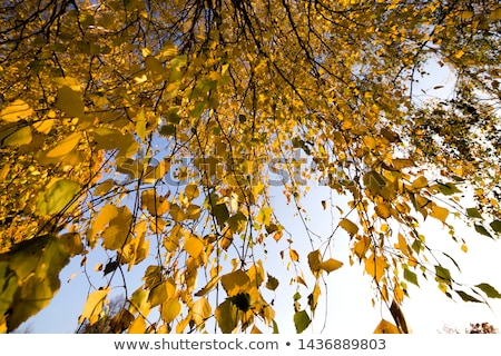golden autumn leaves hanging at the tree with blue sky stock photo © meinzahn