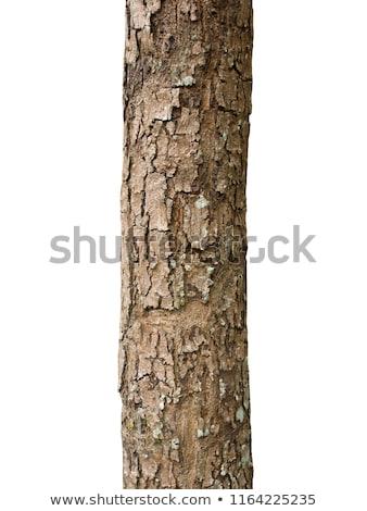 Tree trunk skin Stock photo © janaka
