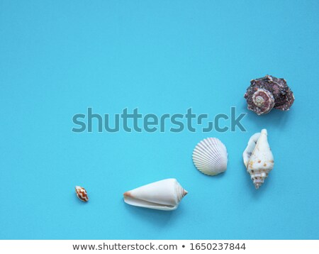 Seashell on a gray background.  stock photo © EFischen