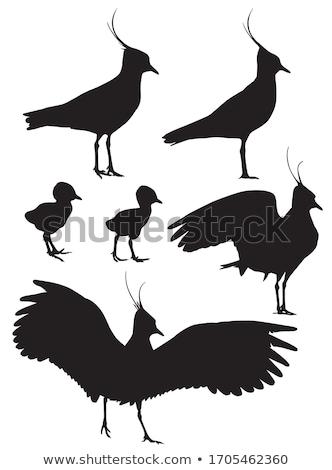 lapwing chick stock photo © jfjacobsz