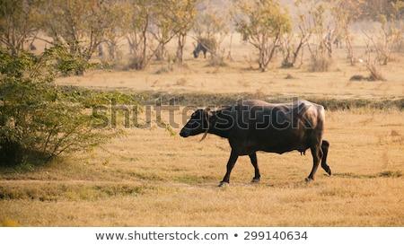 indian buffalo walking in the field stock photo © ziprashantzi