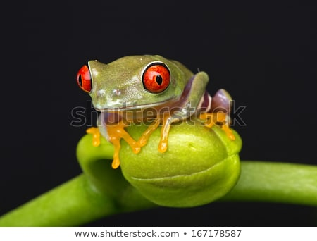 Baby Red Eyed Tree Frog on Orchid Stock photo © jeffmcgraw