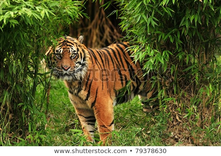 A scary tiger at the forest Stock photo © bluering