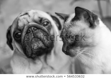 cute pug sitting in a white photo studio stock photo © vauvau