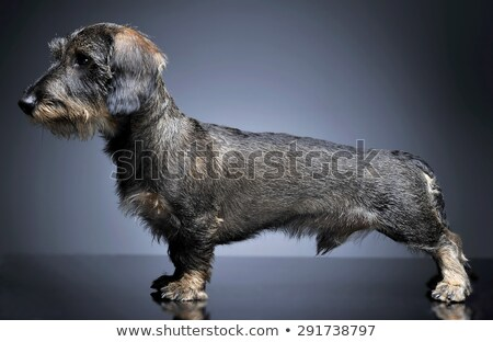 wired hair dachshund standard  in dark studio Stock photo © vauvau
