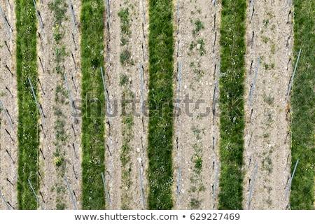 aerial of vineyard in spring with growing vine prages stock photo © meinzahn