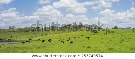 Australian Agriculture Beef Cattle Panorama Landscape Stok fotoğraf © Sherjaca