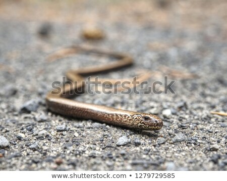 portrait of eastern slow worm Stock photo © taviphoto