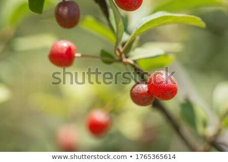 cherry elaeagnus elaeagnus multiflora with many berries stock photo © lianem