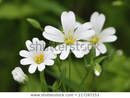 Branco flores silvestres crescente grama verde fundo Foto stock © sarahdoow