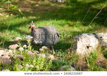 Helmeted guineafowl, Numida meleagris, big grey bird in grass. Wildlife scene from nature. Bird from Stock photo © galitskaya
