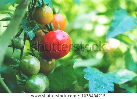 Fresche giardino colorato pomodori basilico foglie Foto d'archivio © karandaev