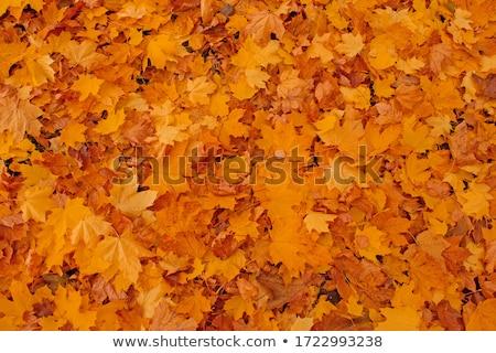 ősz lomb arany levelek textúra erdő Stock fotó © Arsgera