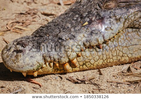 Crocodile In Swamp Waiting For Prey Stock photo © KonArt
