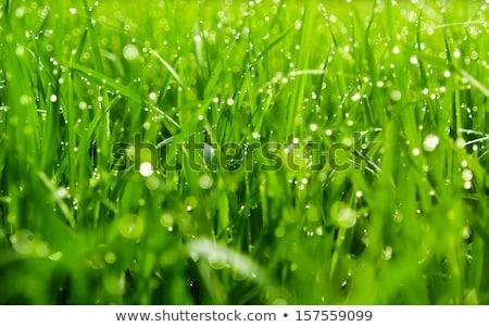 Erba verde gocce di pioggia immagine primavera fresche Foto d'archivio © stevanovicigor