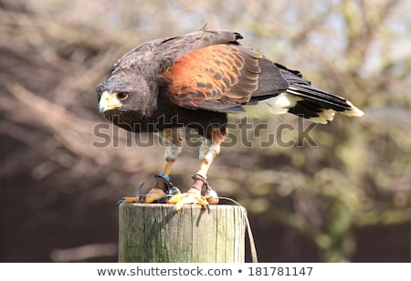 Harris's Hawk Stock photo © cynoclub