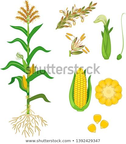 Corn Silk On The Stalk Stock photo © Kuzeytac