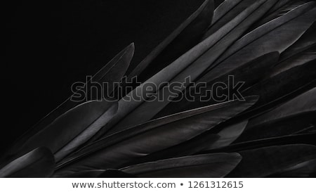black feather stock photo © carlodapino