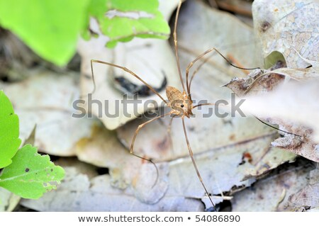 harvestman   daddy longlegs class arachnida order opiliones stock photo © brm1949